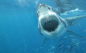 #15 Sharks